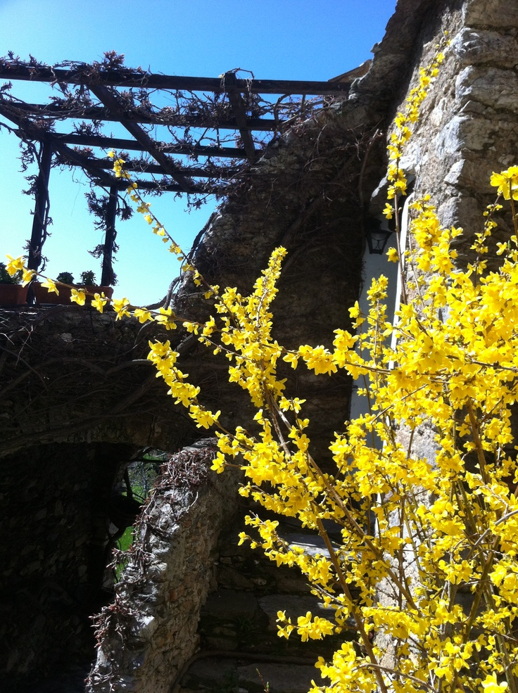 Fiori gialli di ginestra