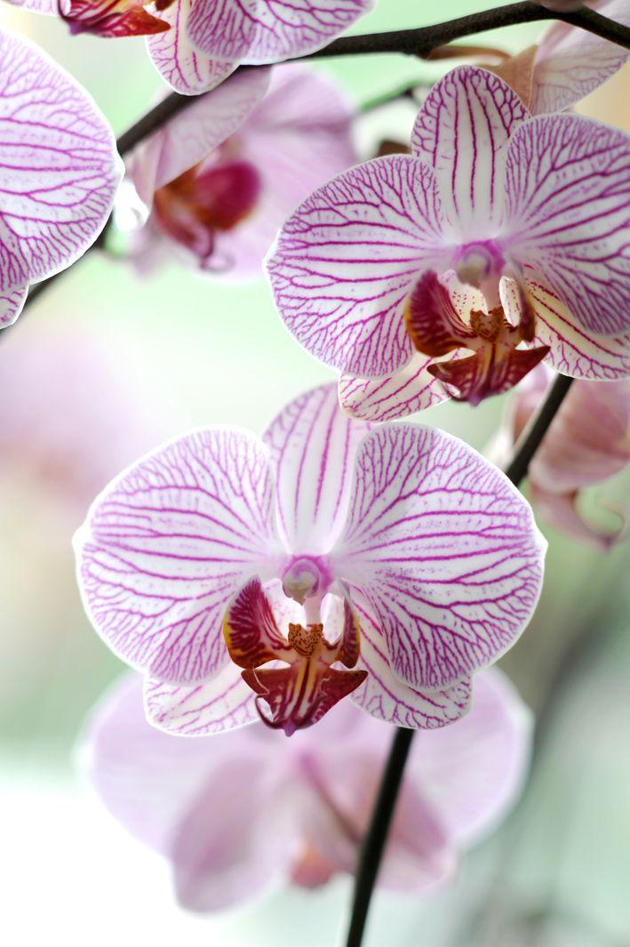 Prachtige bloemen van de Phalaenopsis