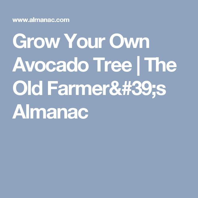 25 best ideas about avocado tree on pinterest grow for Grow your own avocado tree from seed