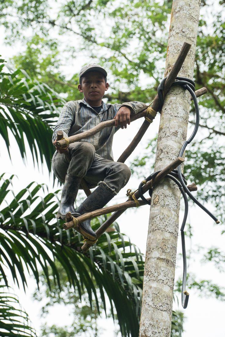 Los cortadores de Pifva arriesgan mucho subiendo árboles de la palma con más de 20 metros de altura para coger el fruto por 10 dólares diarios. Su método de ascenso es de lo más rudimentario y original. Al igual que peligroso.