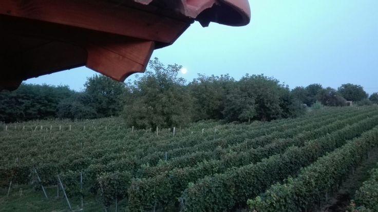 Szigetvár Szőlőhegy (vineyard)