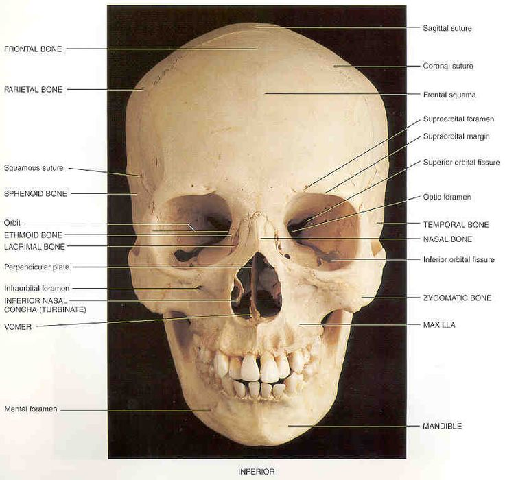17 best images about human skull for artists on pinterest | study, Skeleton