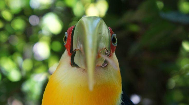 Seen at Iguaçu National Park bird sanctuary