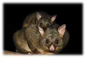 Most of our animals in Tasmania are nocturnal or awake at dusk and dawn.  We time your exclusive tour to catch perfect viewing of all the animals.  No longer will you see sleeping sugar gliders, wombats and potoroos, all across the park animals emerge from their daytime slumber and reclaim the night.