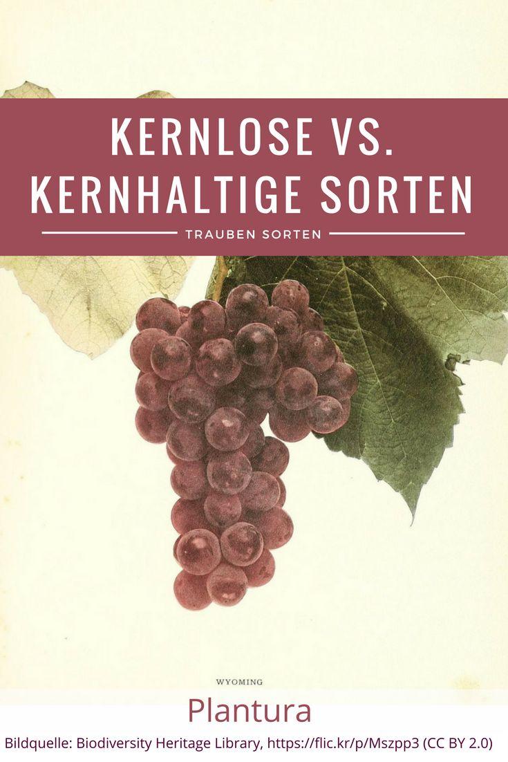 Kernlose Trauben vs. Kernhaltige Sorten - welche schmecken besser und welche Vorteile haben die Weinreben gegenüber?