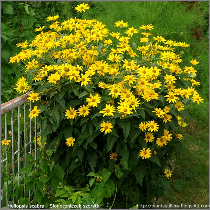 heliopsis | Heliopsis scabra - Słoneczniczek szorstki Deer resistant flowers mid-summer and fall. If soil to fertile will need staking