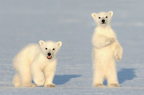 Polar bear cubs.                                                                                                                                                                                 Mais