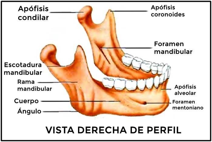 Huesos Del Cráneo Mandíbula Dental Anatomy Medical Supplies Anatomy