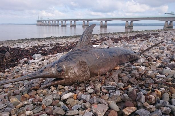 Huge 6ft swordfish found on UK riverbank as experts predict it travelled 1,500 miles from the Med