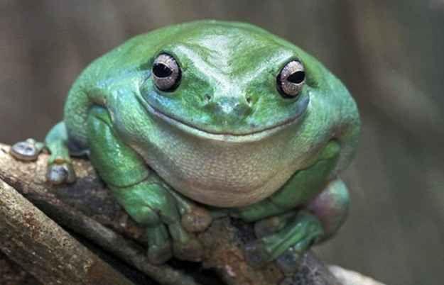 Estos 21 animales sonriendo te alegrar n el d a animales for Cabine di rana holler