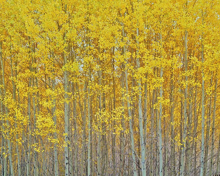"""Golden Aspen Grove"" in 2019 Aspen, Tree camping"