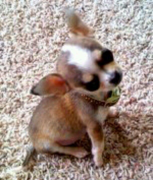 Haas Chihuahuas