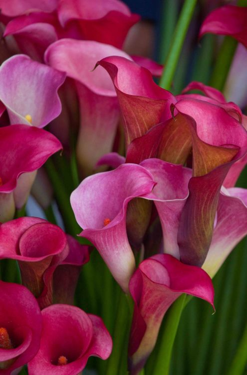 Calla lilies in vibrant pinks