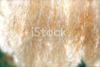 'Toitoi' or 'Toetoe' Grass Head Background Royalty Free Stock Photo