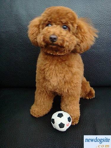 Brown Bichon Frise Want One So Bad I Ll Name Him
