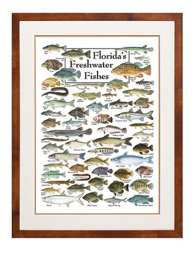 Florida 39 s freshwater fishes poster freshwater fish for Fish of florida