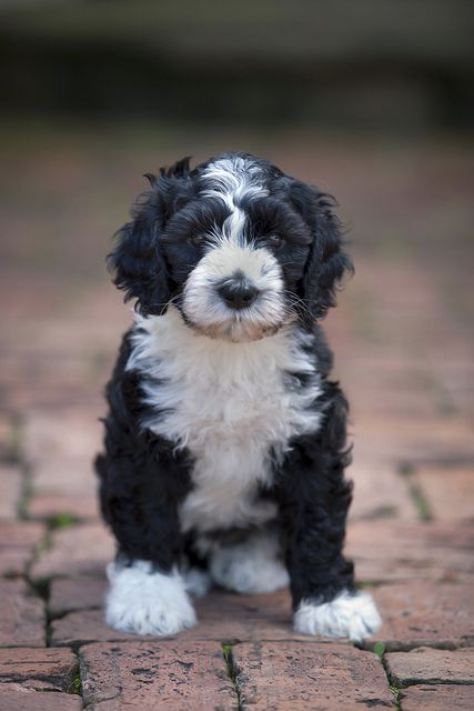 Portuguese Water Dog <3