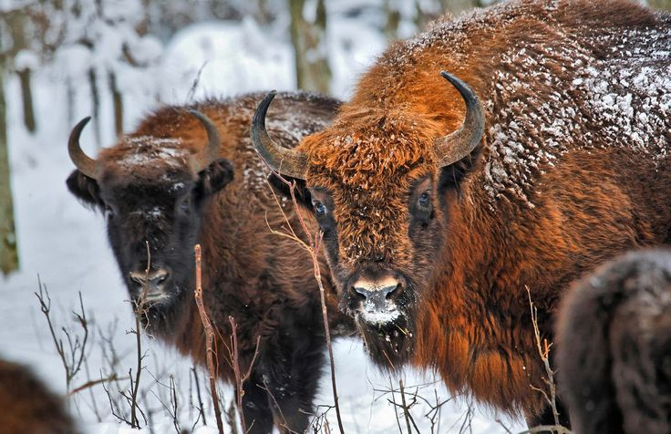 See European Bison In Białowieża Forest // POLAND HIGHLIGHTS  It's hard to believe that #Europe's heaviest land animal almost went extinct in the olden days. Today, 800 European #Bison roam the primeval #Białowieża #Forest, also a #UNESCO World Heritage Site as of 2014. Since the forest is a natural border dividing Poland and Belarus, avid adventurers can enjoy developed #hiking and #cycling trails on both sides or cut through. Discover more adventures in #Poland: bit.ly/PolishAdventures