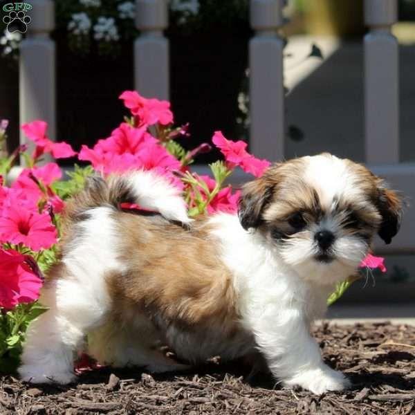 Amy Shih Tzu Puppy For Sale In Pennsylvania Shih Tzu Shih