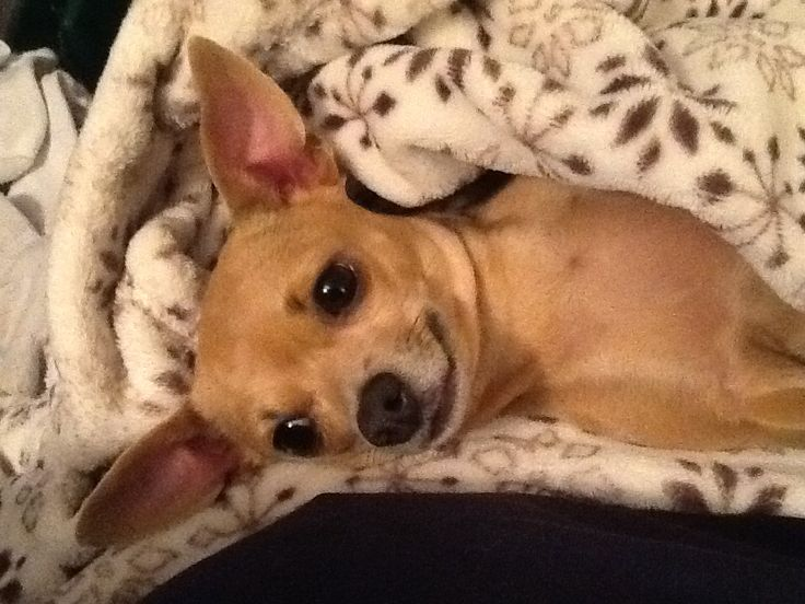 My chihuahua Lucy being cute