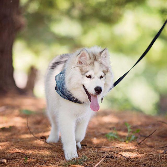 We Love Walkies Huskies On Instagram Cute Dogs Dog Lovers