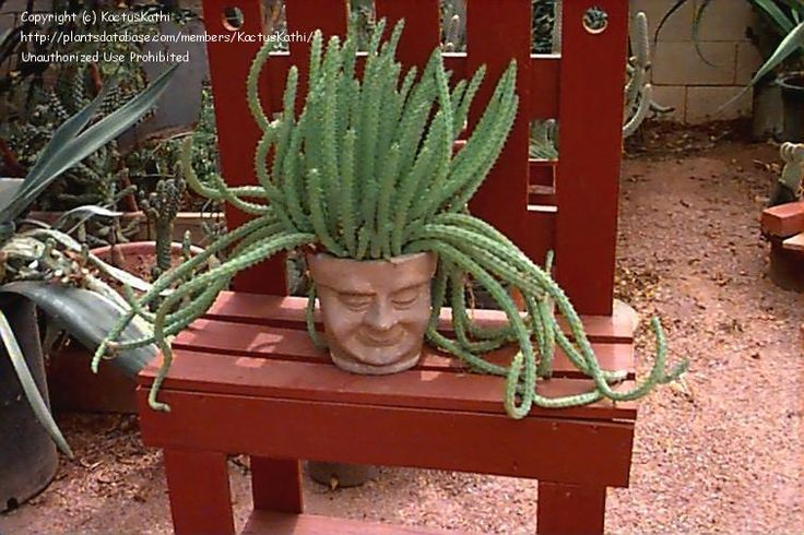 I have a Red Dragon Flower Succulent......now i need this pot for it!!!