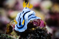 Image result for blue nudibranchs