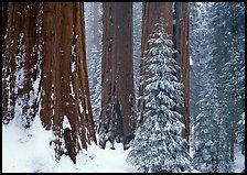 Sequoias in winter snow storm, Grant Grove. Kings Canyon National Park, California, USA. (color)