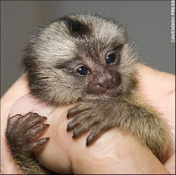 Capuchin Monkey Baby...I going to get one and name it Theo