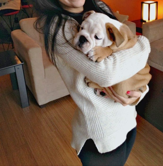 English Bulldog Puppy. I think he needs me to cuddle him. LOTS!!!!