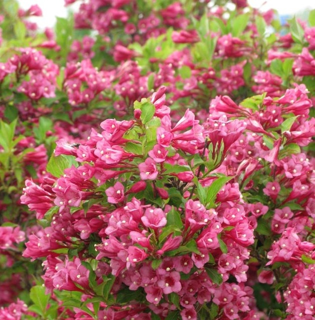 Weigela flamingo pink flower child pinterest for Pink flowering shrubs