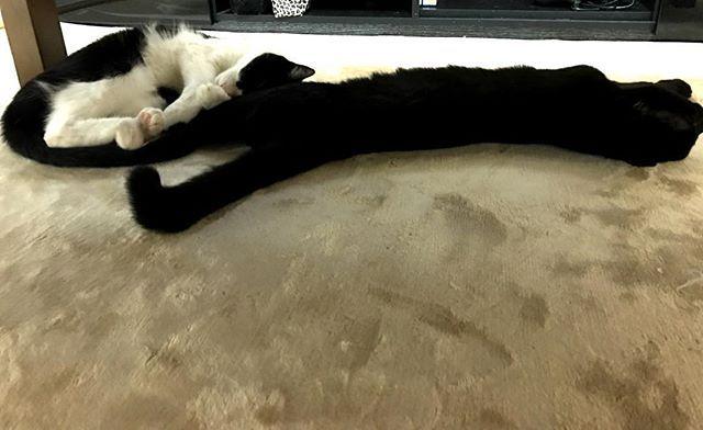 . なんか、めっちゃ長ない?🙄笑 ちなみにこれはジジです😂 . この子、伸びたらすごく長い🙆 90度の鍵しっぽ💗 . にゃーの尻尾とジジの足が同じ色やから 繋がって見える!笑 . #白黒 #ハチワレ #茶トラ #キジシロ #黒猫 #白猫 #猫 #cat #cats #鍵しっぽ #ペルシャ猫 #MIX  #雑種 #にゃんすたぐらむ #ねこすたぐらむ  #ねこ部 #ねこ #デブ猫 #愛猫 #多頭飼い #猫好きさんと繋がりたい #保護猫 #貰い猫  #猫のいる暮らし #catstagram #ジジ #にゃーたん #長すぎる #伸びてる #猫かすら分からん