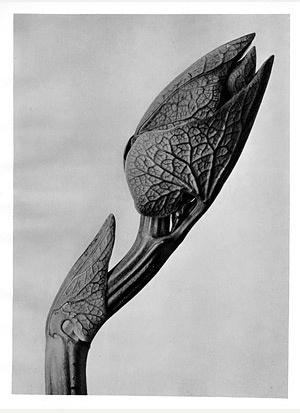 Upright Birthwort #58 [aristolochia clematitis] antique botanical print