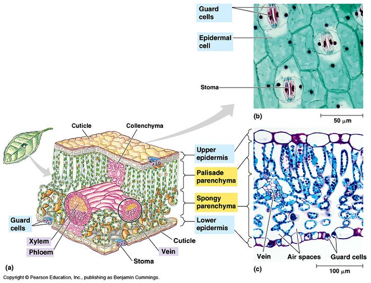 Internal anatomy of a leaf in 2020 | Plant science, Plant ...