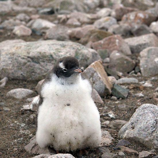 baby penguin   Baby penguins, Penguins, Pgh penguins