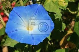 Resultado de imagen para enredaderas de flor azul