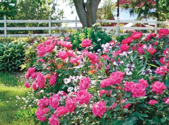Best The Knock Out Family Of Roses Images On Pinterest