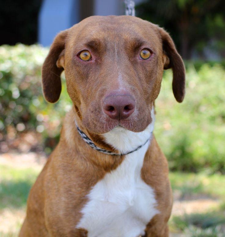 Labralas dog for Adoption in El Cajon, CA. ADN-475118 on PuppyFinder.com Gender: Female. Age: Young