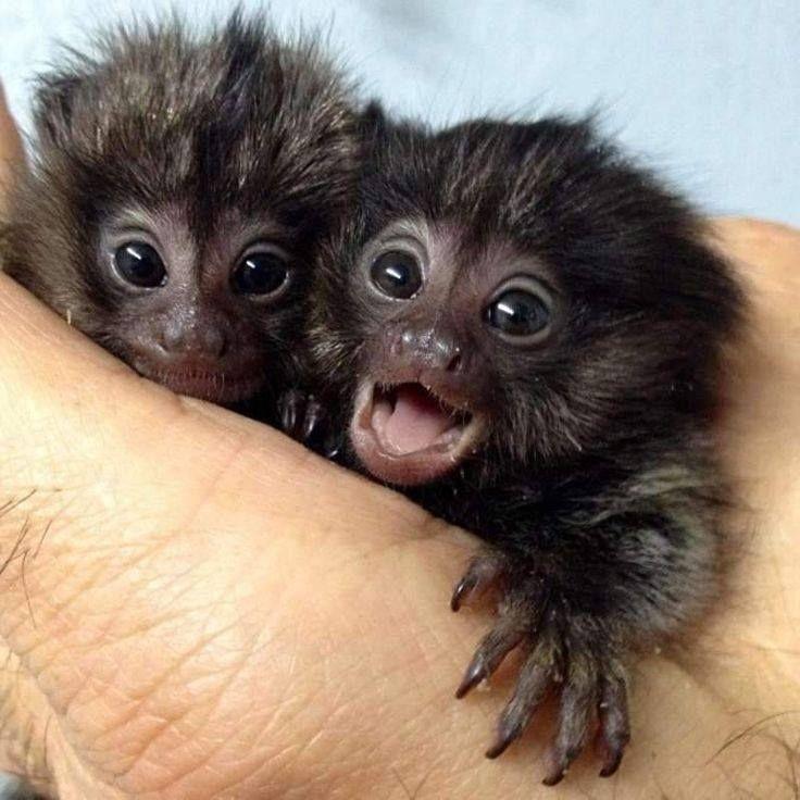 Baby Spider Monkeys In Hand