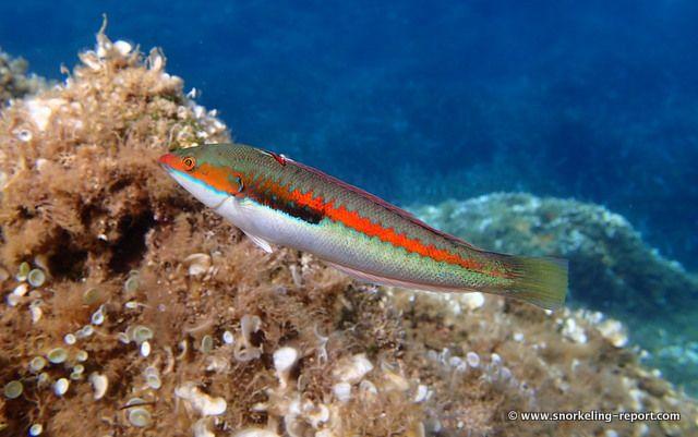Mediterranean rainbow wrasse at La Palud beach, Port Cros National Park, France