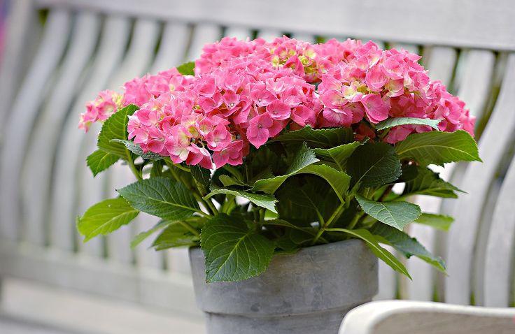Ortensia rosa acceso, con le caratteristiche sfumature verdi