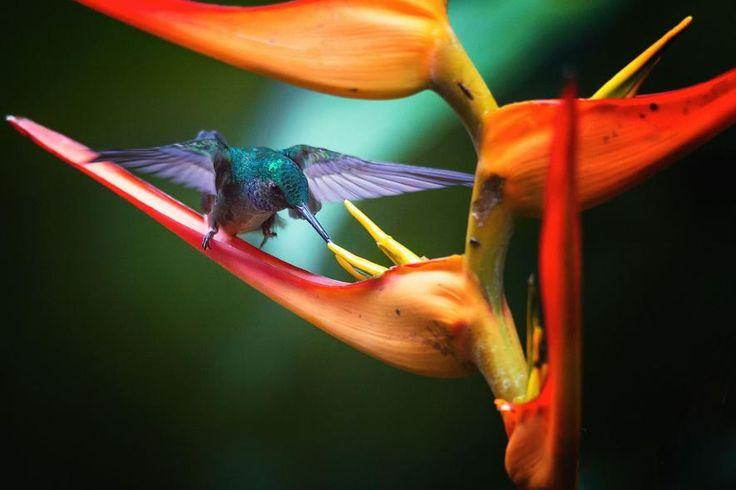 """""""Estaba muy oscuro en el bosque lluvioso de Manuel Antonio, la única luz era de color naranja brillante de las flores a lo largo del camino. Me di cuenta de algo que se mueve muy rápido y resultó ser un pequeño colibrí en busca de comida. Me gustó mucho viendo esta hermosa ave en el desierto.    FOTOGRAFÍA POR BARBARA SEIBERL-STARK , NATIONAL GEOGRAPHIC YOUR SHOT"""
