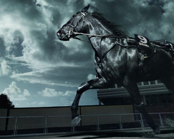 Standardbred horse: Standardbred horse