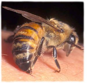Bodnutí včelou, vosou ... dobrá rada :))  Byla jsem s kamarádkou na chatě a ona má syna, který musí okamžitě po píchnutí bodavým hmyzem do nemocnice. Když ho bodla včela, přiskočila jsem k němu, vytáhla jsem mu žihadlo a hrábla do záhonu, nabrala jsem zeminu do své dlaně a začala jsem mu třít ránu po bodnutí. Kamarádka jen koukala a nevěřila svým očím. Chlapec nikam jet nemusel, byli jsme na vesnici a bez auta.