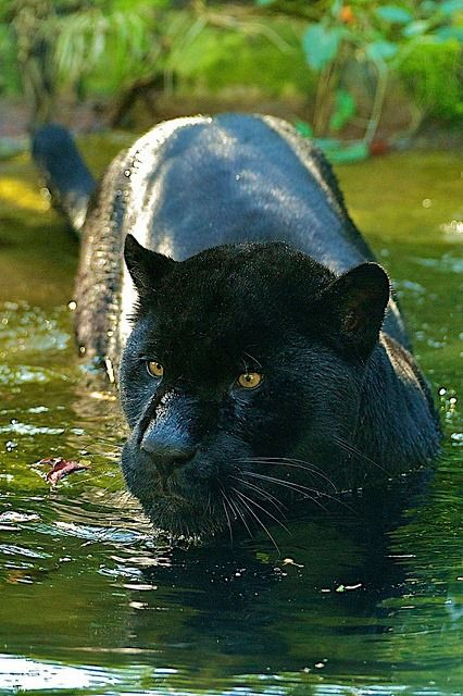 17 Best images about Big Cats (mainly black panthers) on ... - photo#31