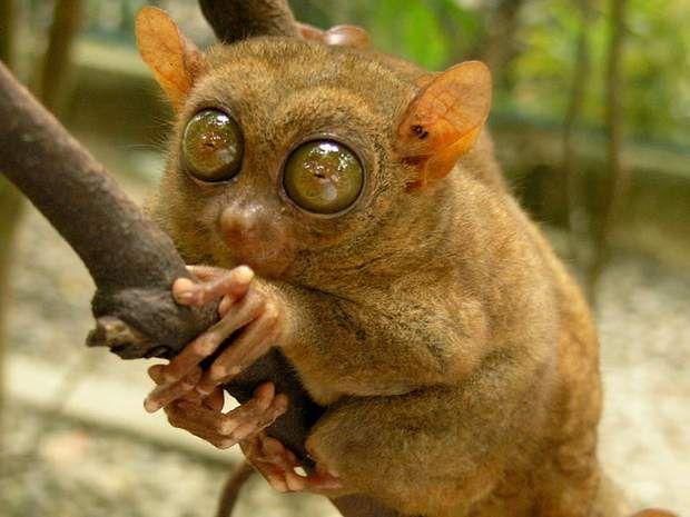 Le tarsierY a-t-il animal plus attendrissant que le tarsier? Ce petit primate originaire d'Asie du Sud-Est étonne par ses yeux immenses qui semblent contempler le monde avec la plus grande des surprises. Cette minuscule créature qui ne dépasse guère les 15 centimètres vit en toute discrétion dans les arbres de la jungle et ne se déplace que peu. Le tarsier doit son nom à la taille de ses pieds, particulièrement développés en proportion de son corps.