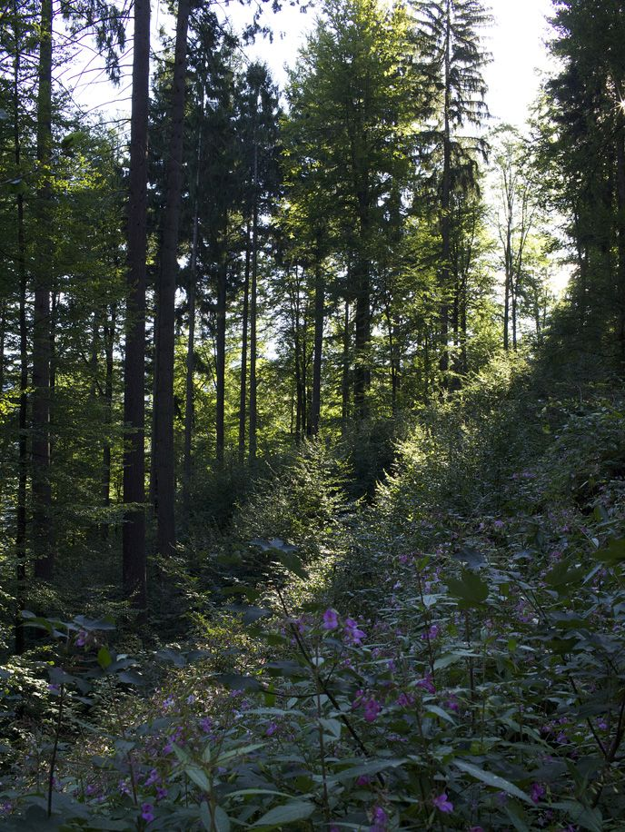 Beautiful flowers and trees in the Black Forest