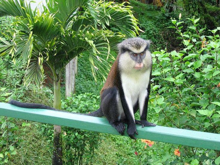 15 best grenada mona monkeys images on pinterest monkeys mona monkey in grenada sciox Gallery