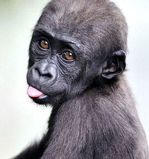 baby gorilla .... he looks like his name should be chichi bonaroo. 8-)