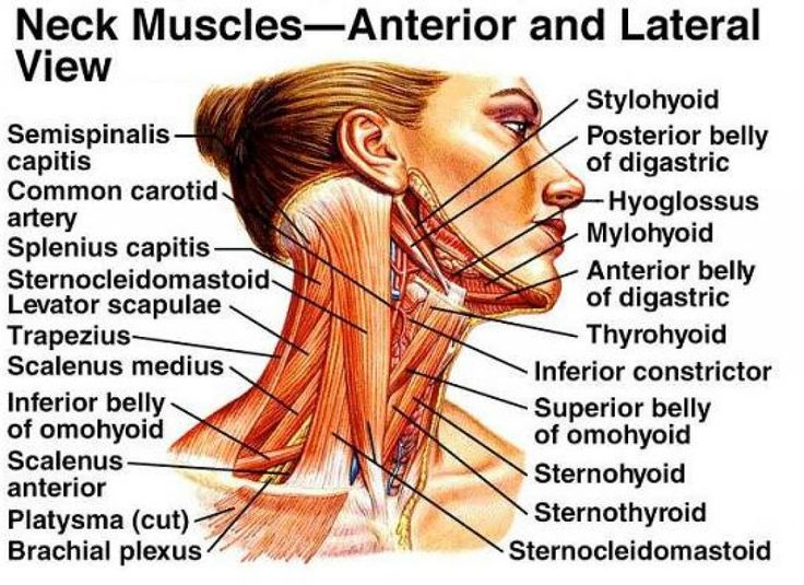 Muscle Neck Diagram Blank Labels
